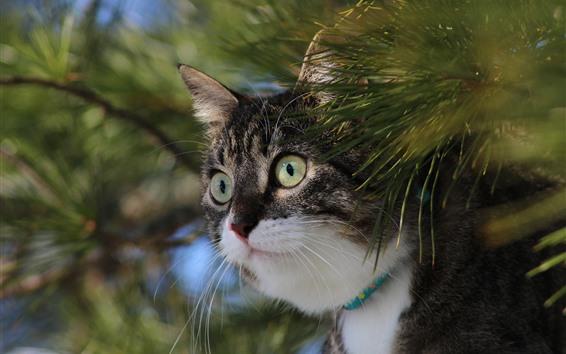 Papéis de Parede Gato, olha cara, galhos de pinheiro