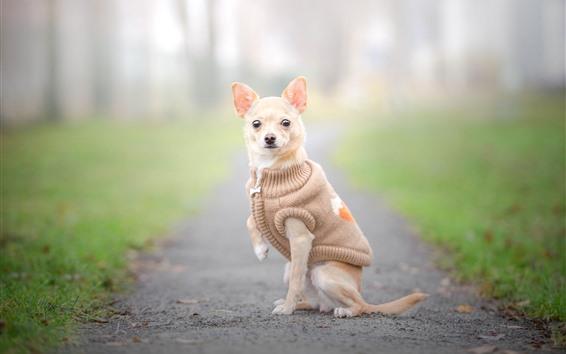 Wallpaper Chihuahua dog, coat, clothes, hazy