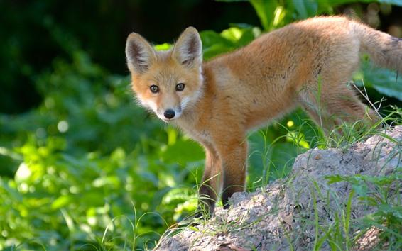 배경 화면 귀여운 작은 여우, 모습, 측면보기