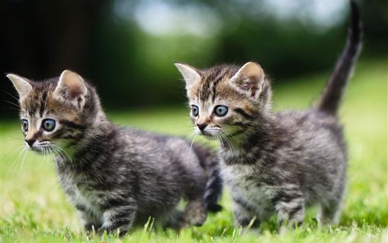 Papéis de Parede Dois gatinhos fofos caminhando na grama