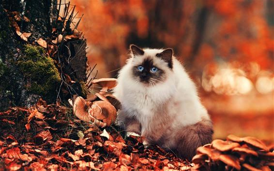 Hintergrundbilder Nette weiße Katze, blaue Augen, Pilz, Blätter, Herbst