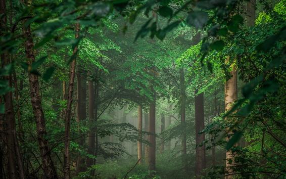 Обои Германия, деревья, лес, зеленые листья, туман