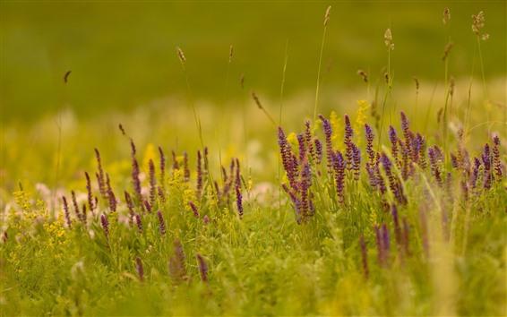 배경 화면 잔디, 보라색 야생화, 자연