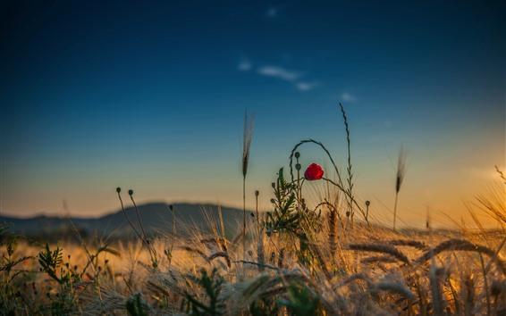 Fondos de pantalla Hierba, flor roja, cielo, verano