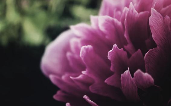 배경 화면 분홍색 모란, 꽃잎 매크로 사진
