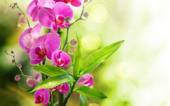 배경 화면 핑크 호접란, 녹색 잎, 물, 밝은 원