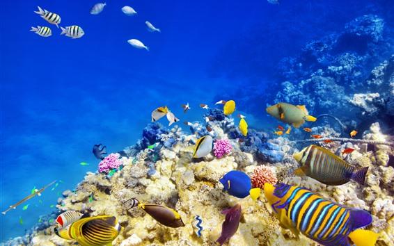 Wallpaper Sea, underwater, clown fish, reef, coral