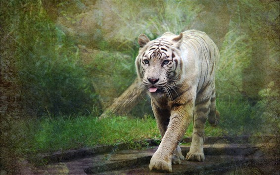 Wallpaper Tiger walk to you, front view, face