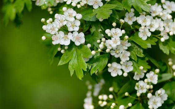 Papéis de Parede Flores de espinheiro branco florescendo, folhas verdes, primavera