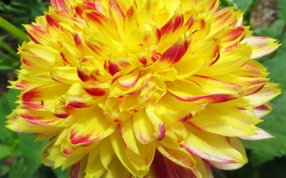 Wallpaper Yellow dahlia close-up, petals