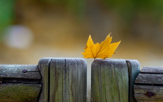 Wallpaper Yellow maple leaf, wood fence