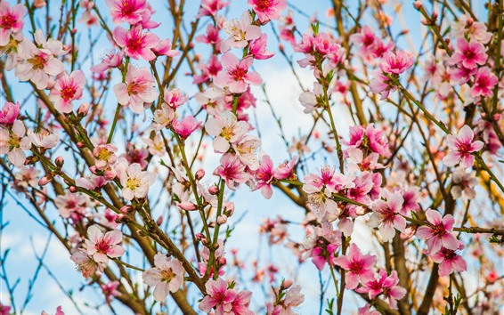 壁紙 美しいピンクの桃の花が咲く、小枝、春
