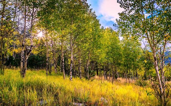 Papéis de Parede Floresta de vidoeiros, árvores, raios de sol, outono