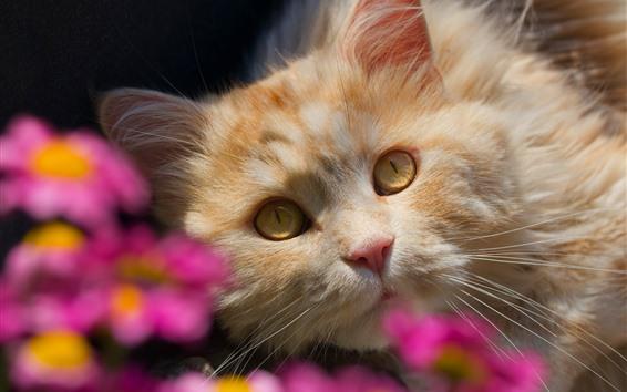 Papéis de Parede Gato olha pra você, rosto, olhos amarelos, flores rosa