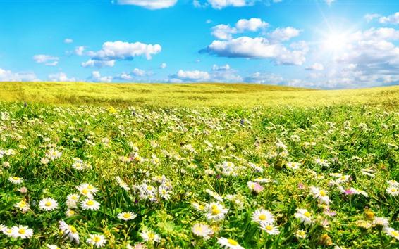 Wallpaper Chamomile, white flowers field, green grass, summer, sunshine, clouds