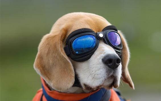 Papéis de Parede Cachorro, óculos, animal engraçado