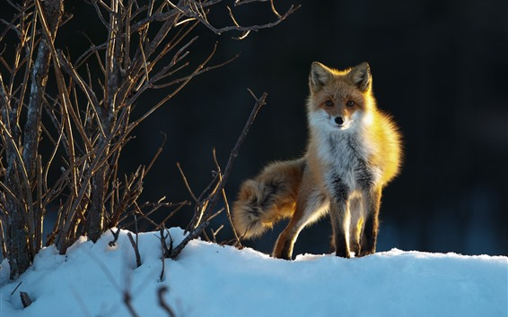 Fondos de pantalla Zorro, nieve, árboles, invierno