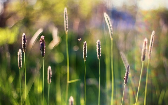 Wallpaper Grass, spikelets, insect, hazy