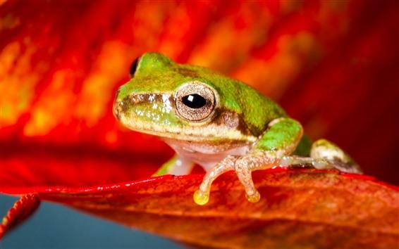 배경 화면 녹색 개구리, 붉은 꽃잎