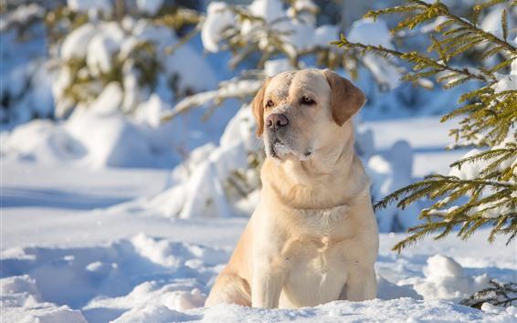 Fondos de pantalla Labrador Retriever, perro, nieve, invierno, ramitas, sol