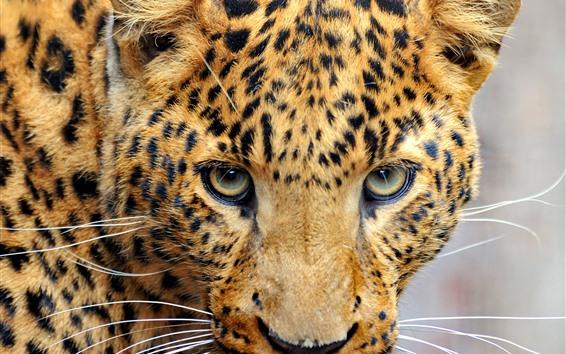 Wallpaper Leopard, look, eyes, face