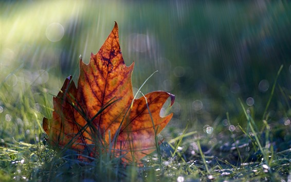 Fond d'écran Une feuille d'érable, herbe, automne