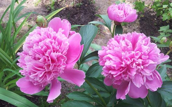 Papéis de Parede Close-up de peônias rosa, pétalas, flores