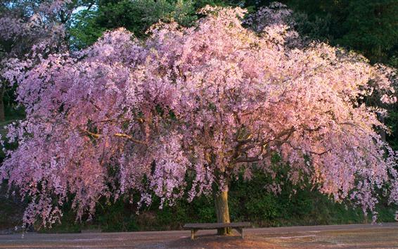 壁紙 桜の花が咲く、木、春、ベンチ