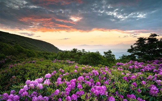 Wallpaper Shenandoah National Park, pink flowers, mountains, rhododendron