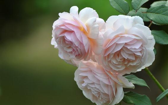 壁紙 3つの淡いピンクのバラ
