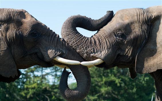 배경 화면 코끼리 두 마리, 놀이, 코