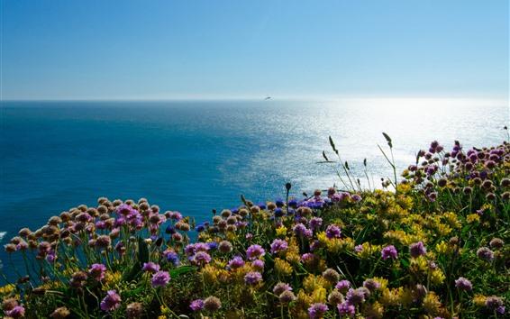 배경 화면 웨일즈, 아일랜드 해, 퍼핀 섬, 꽃, 영국