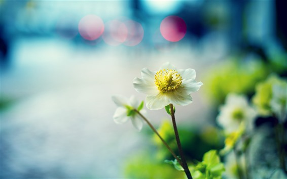 Fondos de pantalla Primer plano de flor blanca, pétalos, fondo brumoso