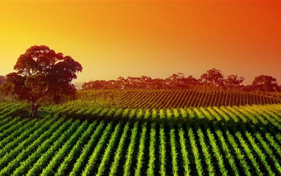 Papéis de Parede Austrália, árvores, amanhecer, campo, vale, sol