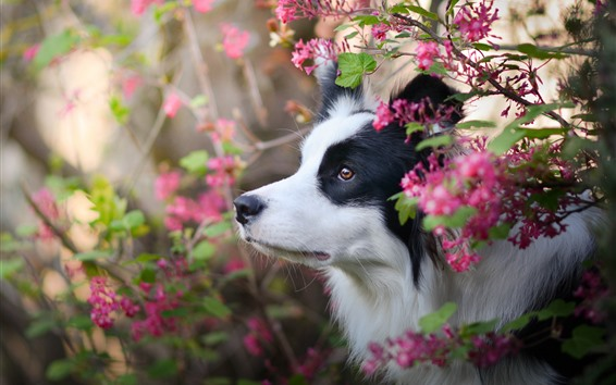 壁紙 ボーダーコリー、ピンクの花、犬、顔