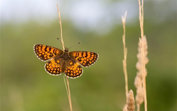 壁紙 蝶、翼、草、ハジー