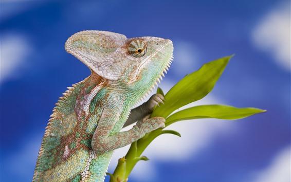 Papéis de Parede Camaleão, lagarto, réptil, plantas verdes, fundo azul
