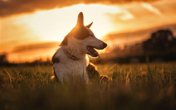 배경 화면 개, 잔디, 일몰, 전면보기