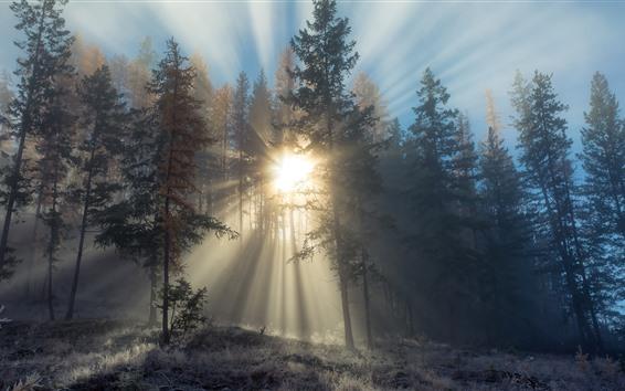 배경 화면 전나무 나무, 숲, 태양 광선, 눈, 겨울