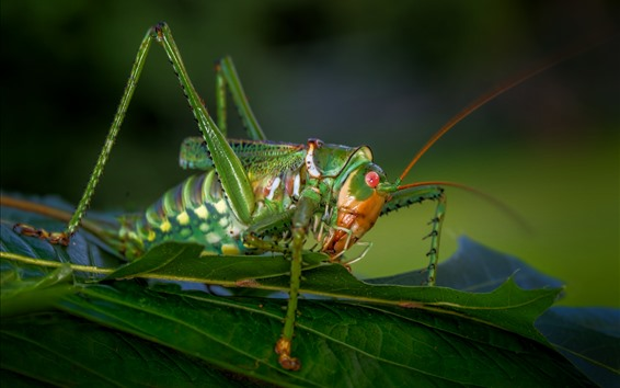 Wallpaper Insect macro photography, grasshopper, green leaves