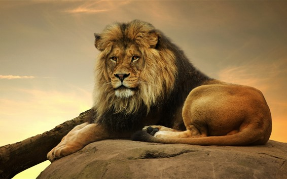 Wallpaper Lion, rest, look, tail, stone