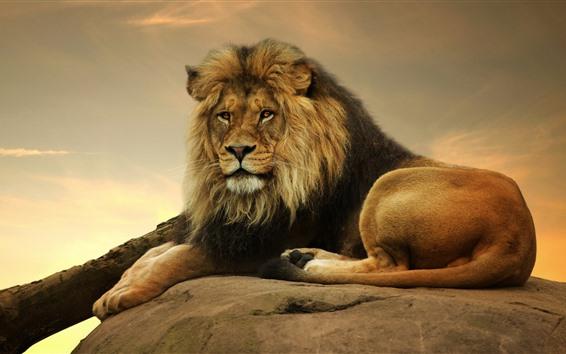 壁紙 ライオン、休息、見て、尾、石