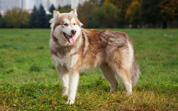 Wallpaper Malamute dog, look, meadow