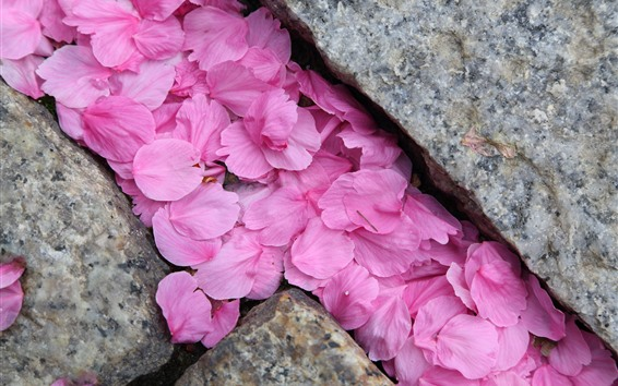 Wallpaper Many pink sakura petals, stones