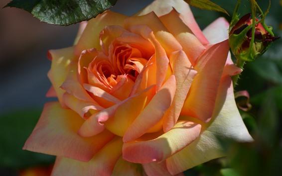 Wallpaper Orange rose close-up, petals, sunlight