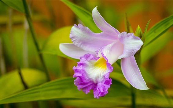 Wallpaper Orchid close-up, pink flower, petals