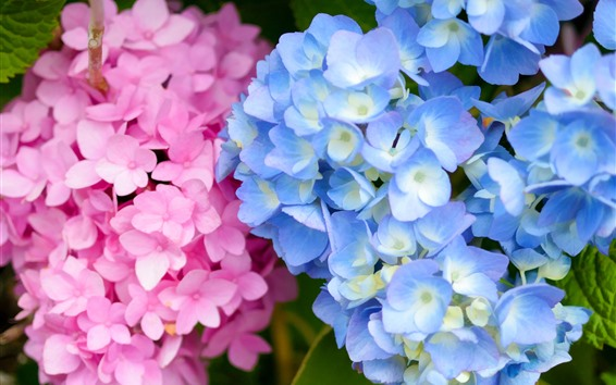 Wallpaper Pink and blue hydrangea flowers, inflorescence