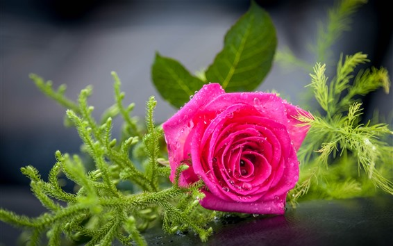 Fondos de pantalla Rosa rosa, pétalos, gotas de agua, plantas verdes.