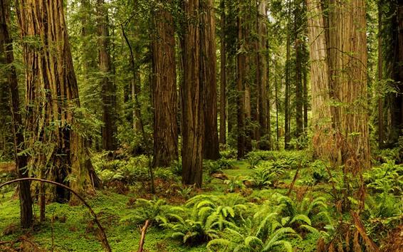 壁紙 レッドウッド国立州立公園、シダ、木、草、アメリカ合衆国