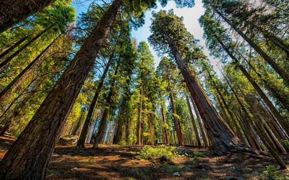 Обои Секвойя, деревья, национальный парк, США